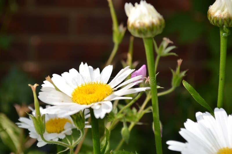 Wild daisy stock photos