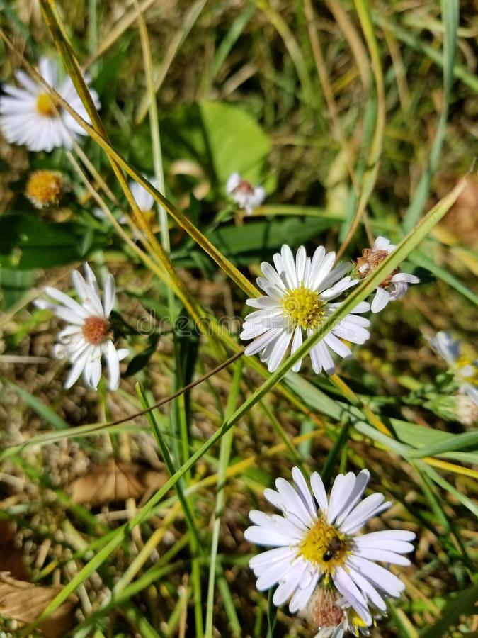Wild daisy stock photography
