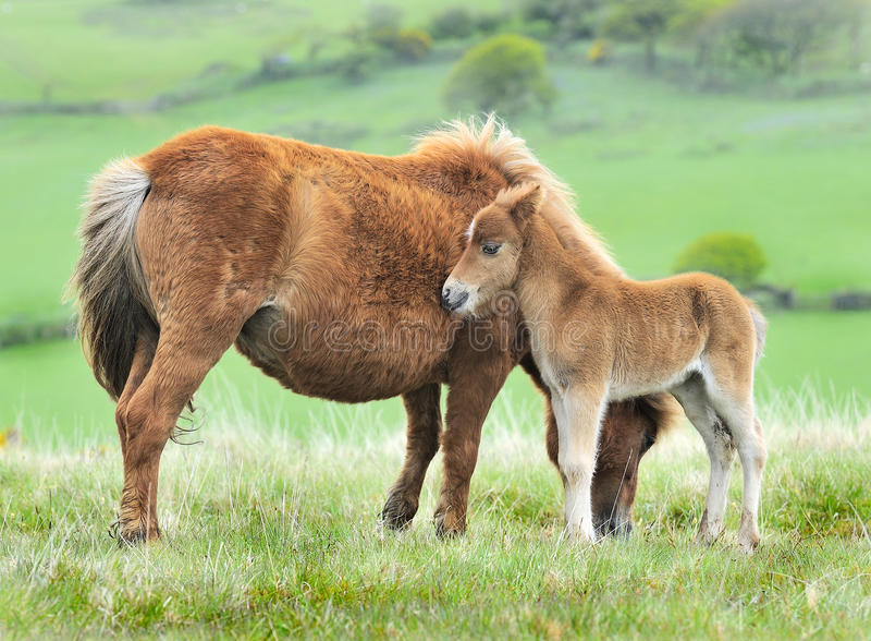 Wild Dartmoor foal and mother stock image