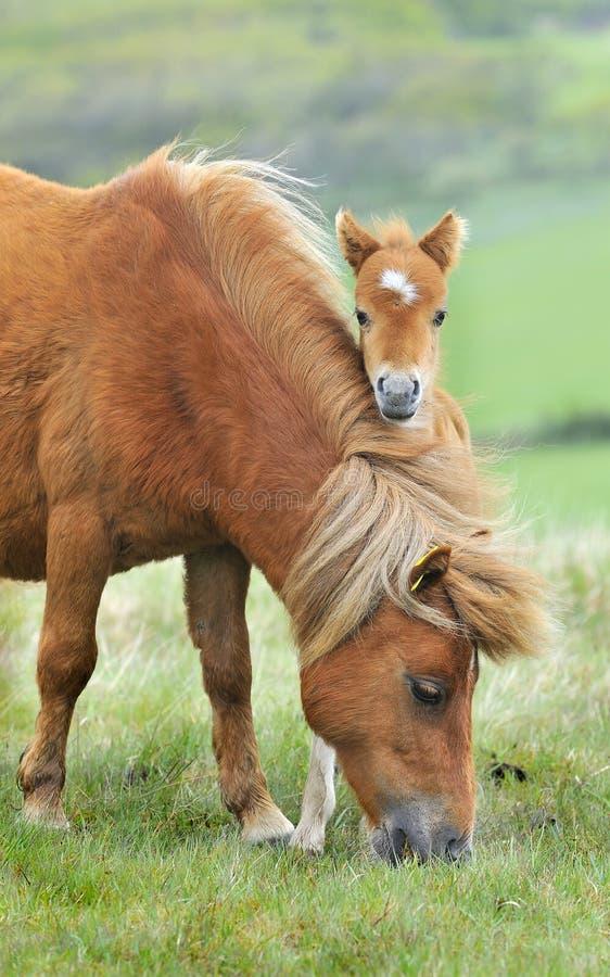 Wild Dartmoor mother and foal stock images