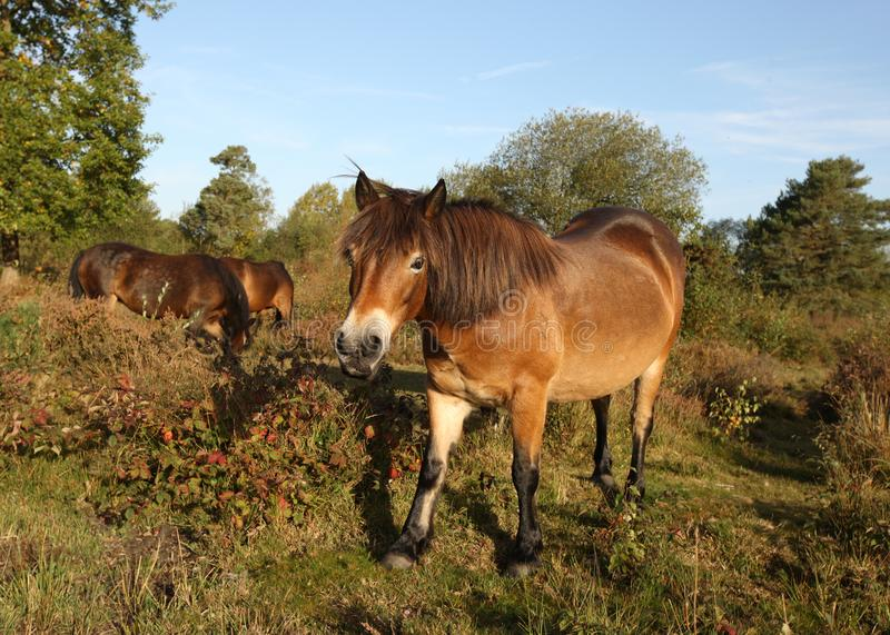 Wild Dartmoor Ponies. Close up of Dartmoor Ponies in late sunshine on a heath royalty free stock images