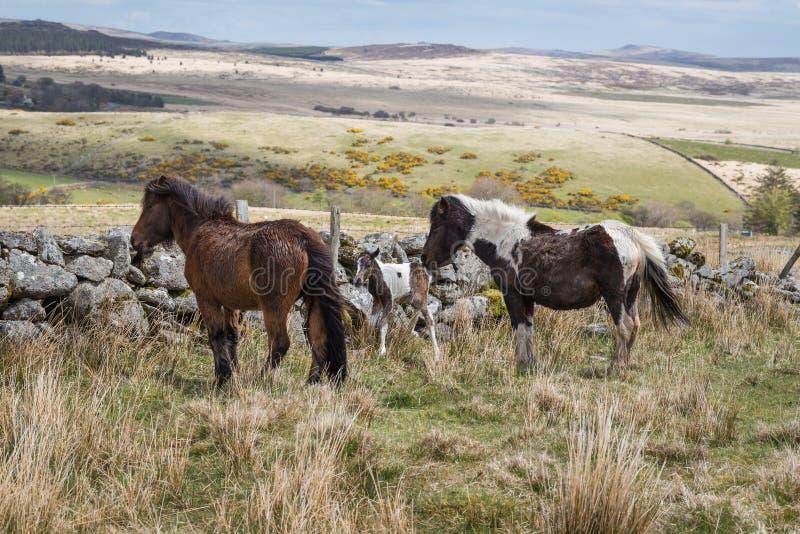 Wild Dartmoor Pony stock photography