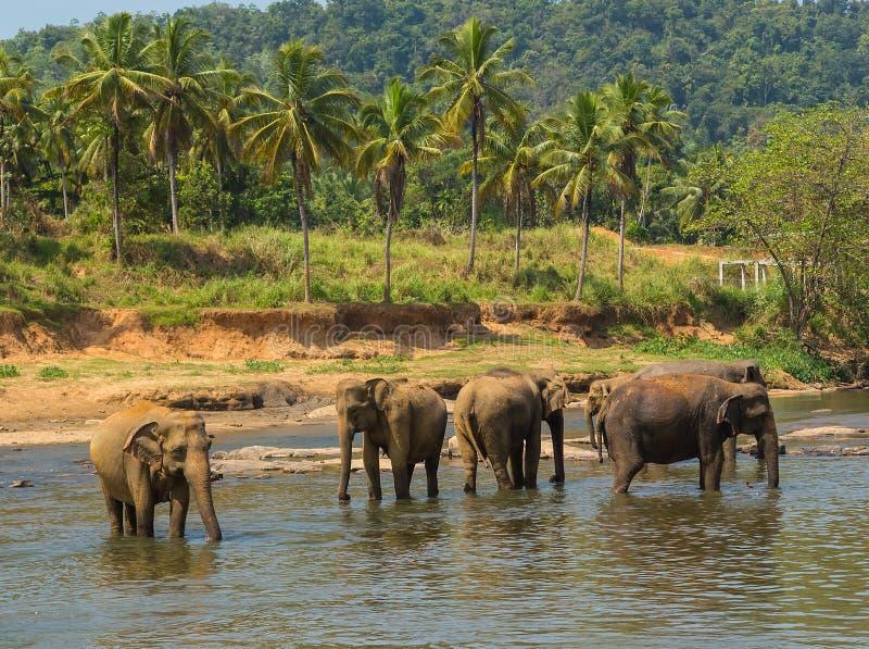 wild de Olifantsbad van familieazië in de wildernis Ceylon van de rivierlente, stock foto's