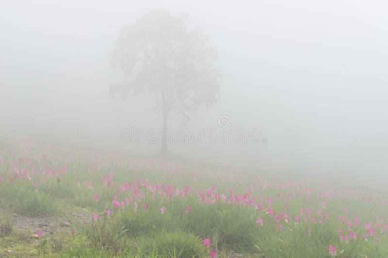 Wild de tulpen bloeiend gebied van Siam royalty-vrije stock afbeelding