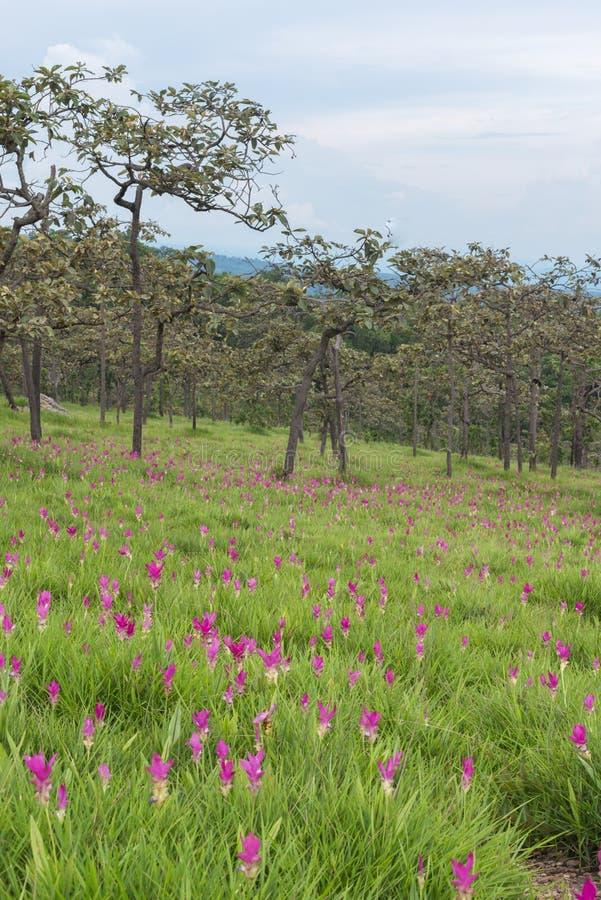 Wild de tulpen bloeiend gebied van Siam royalty-vrije stock fotografie