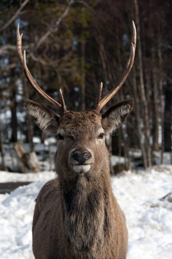 Free Wild Deer Stock Photos - 14185613