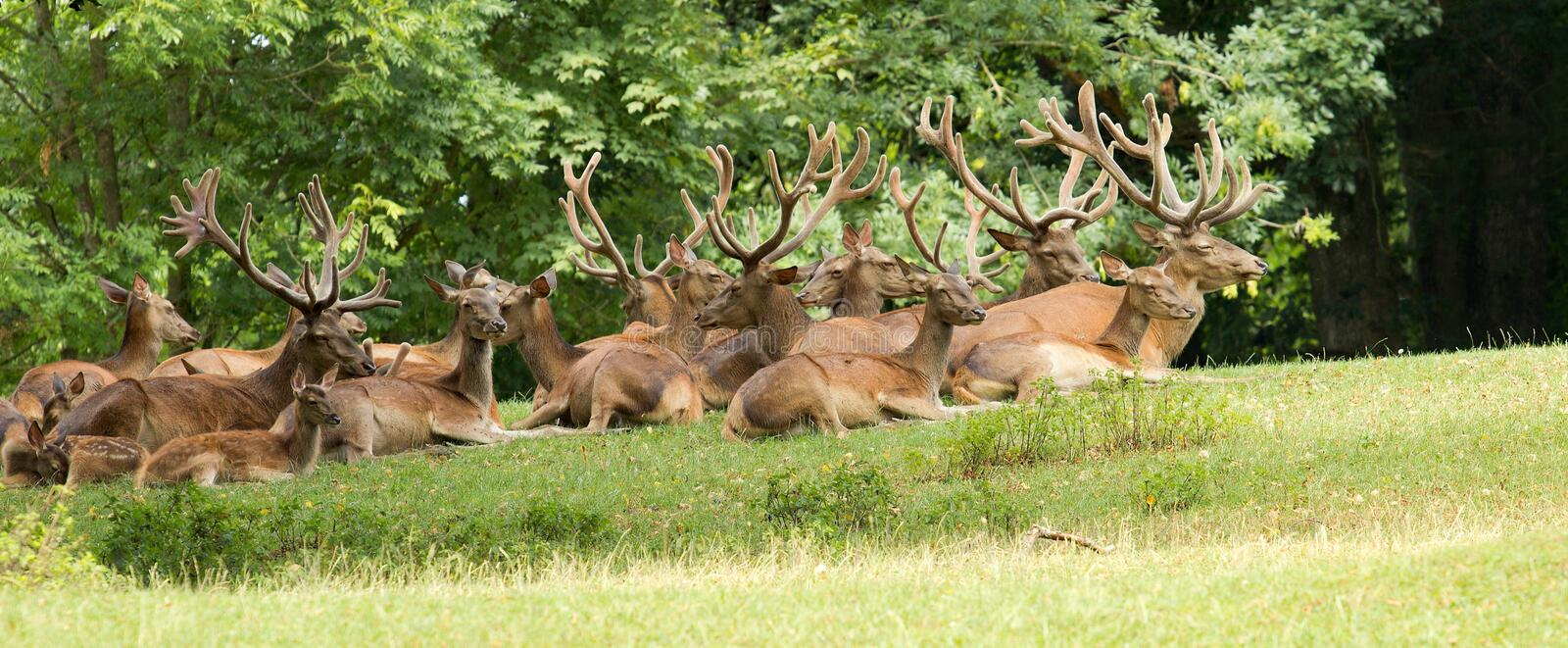 Wild deer group royalty free stock image