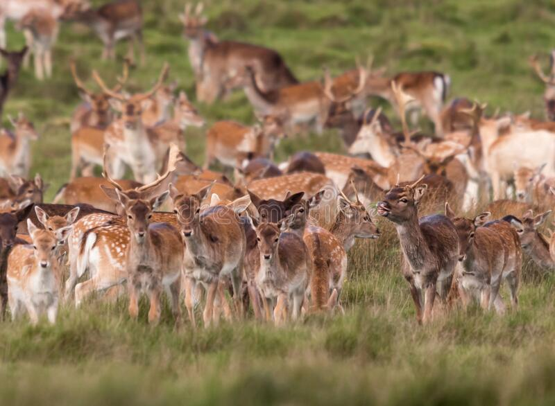 A wild deer herd roaming in the grass royalty free stock photos