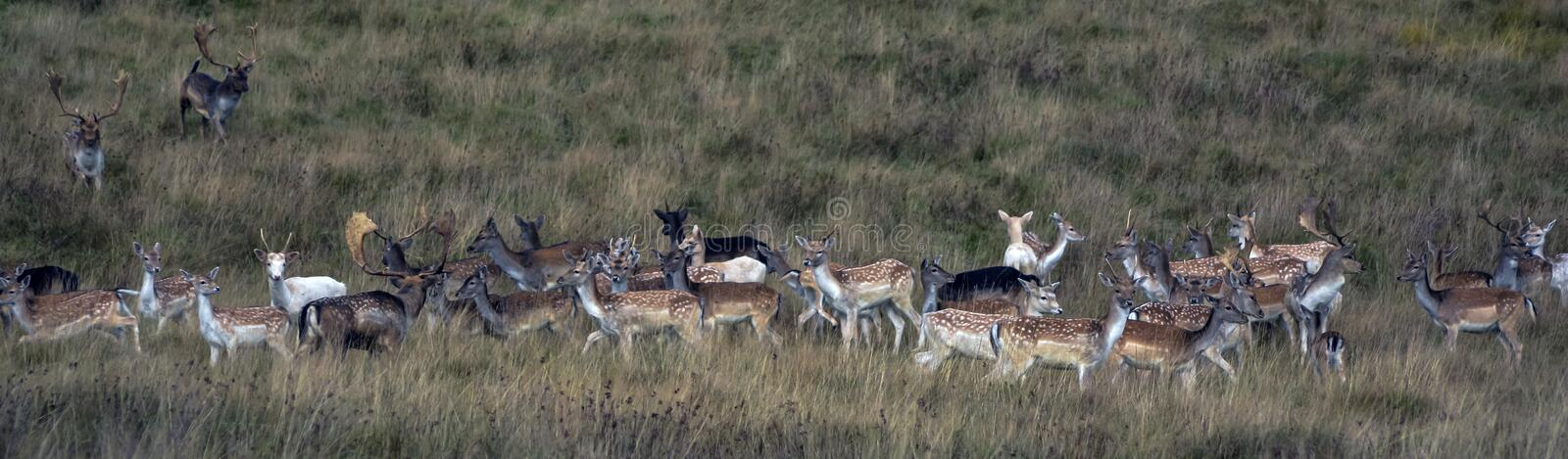 Wild Deer. A wild herd of deer, various ages and gender, photographed early morning at Petworth Park stock images