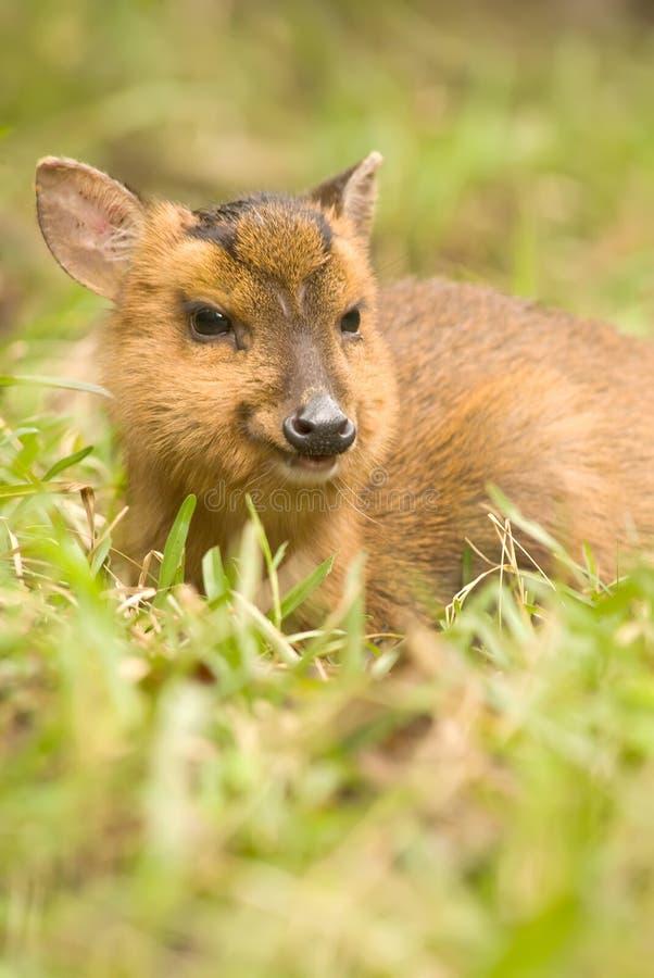 Download Wild deer portrait stock image. Image of environment - 12112565