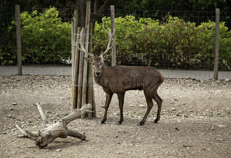 Wild deer protected royalty free stock image
