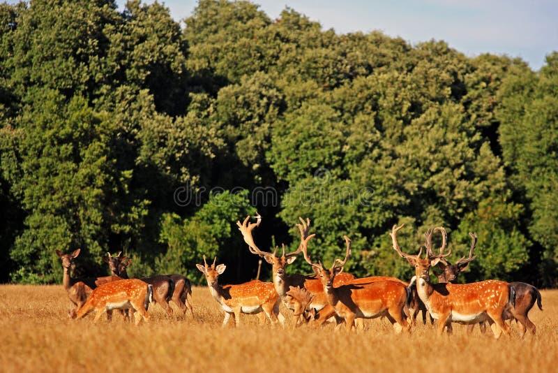 wild deers arkivbild