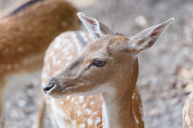 wild deers arkivbilder