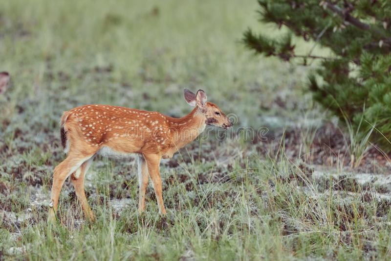 Wild deers outdoors in forest eating grass fearless beautiful and cute stock image