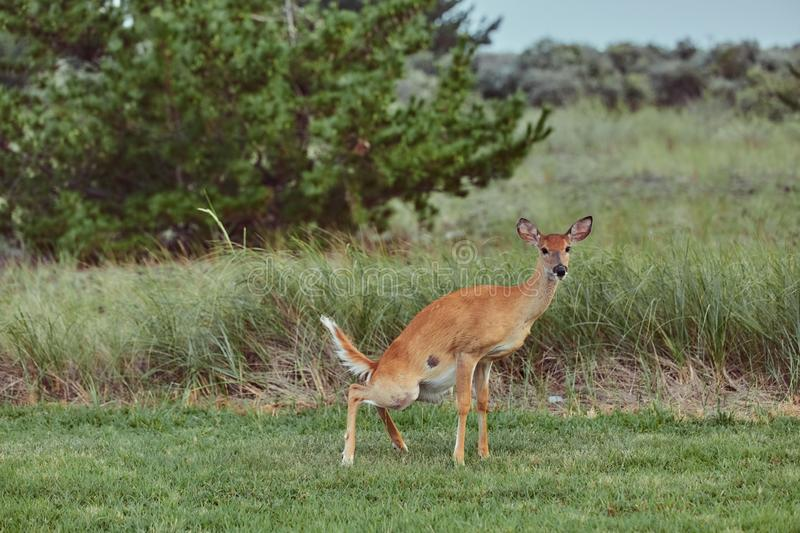 Wild deers outdoors in forest taking a pee royalty free stock photos