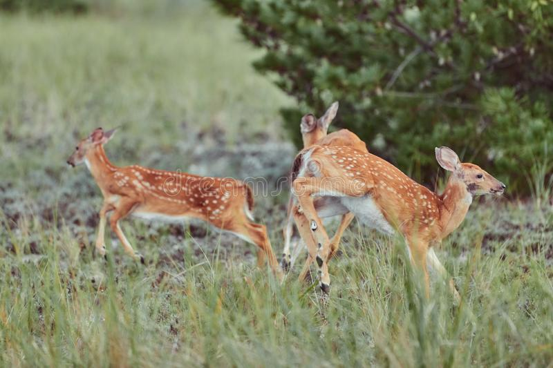 Wild deers outdoors in forest eating grass fearless beautiful and cute jumping royalty free stock photography