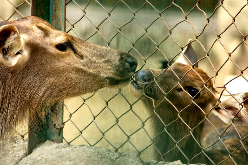Wild Deers sharing love each other royalty free stock images
