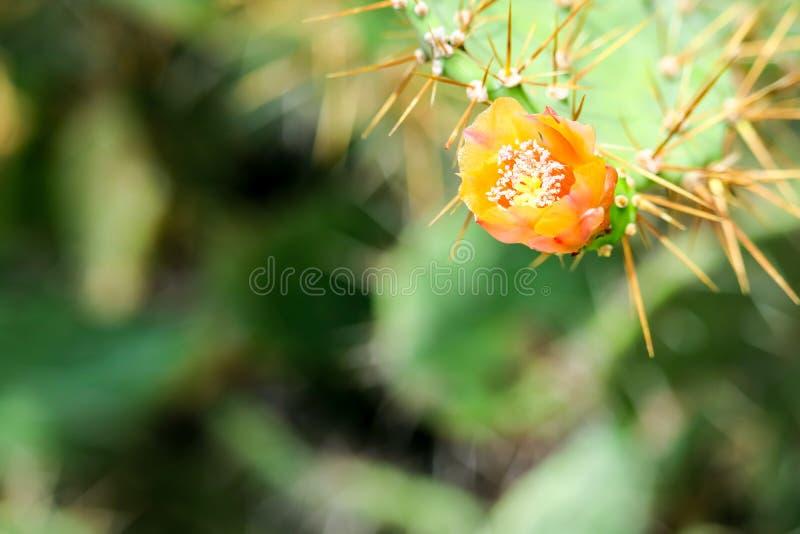 wild desert cactus flower bloom green garden stock photo