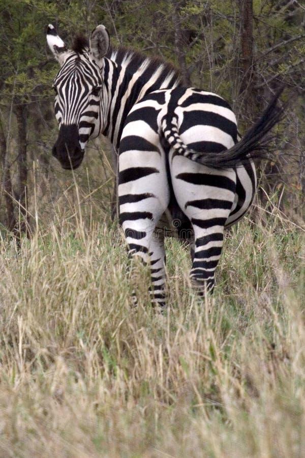 Wild dier in Afrika, serengeti nationaal park royalty-vrije stock afbeelding