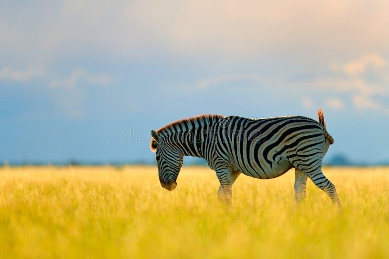 Wild dier op de groene weide tijdens zonsondergang Het wildaard, mooi avondlicht Zebra met blauwe onweershemel Burchell royalty-vrije stock fotografie