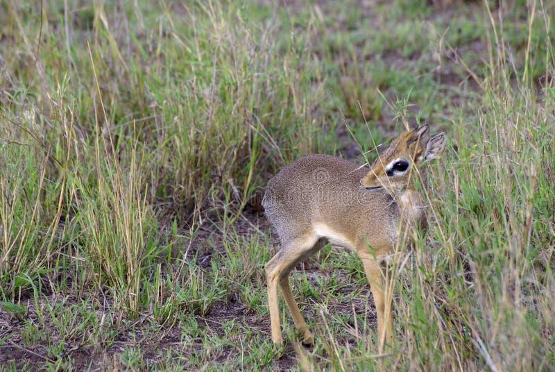 Download Wild dik dik stock image. Image of serengeti, mammal - 21949503