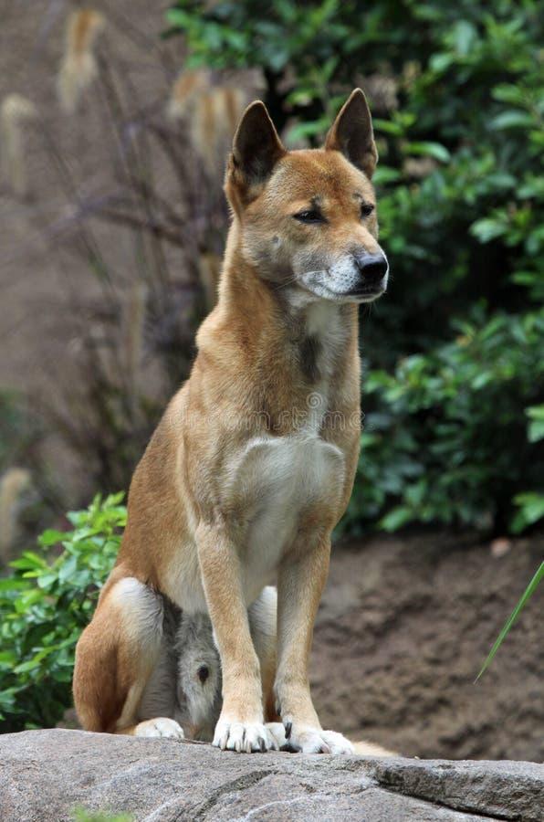 Free Wild Dog Royalty Free Stock Photography - 16644497