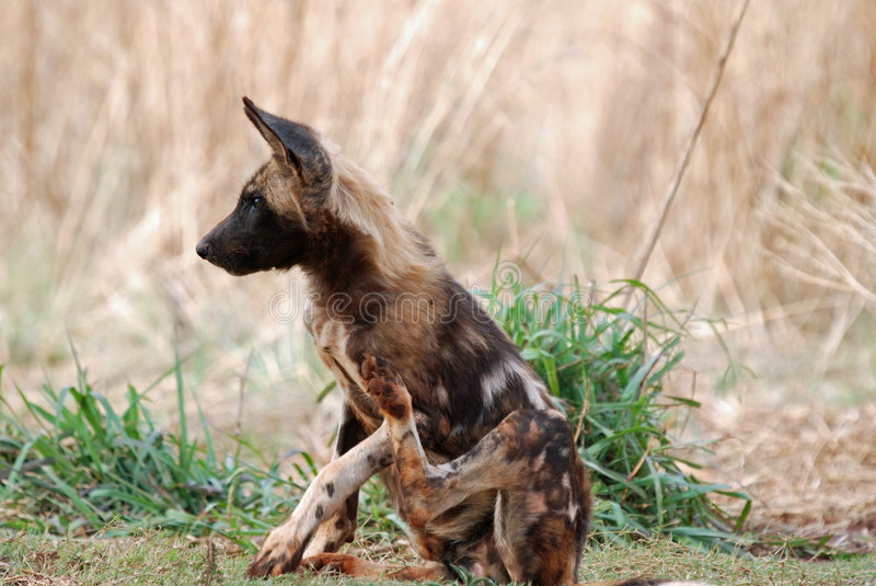 Download Wild Dog stock photo. Image of mammal, carnivore, african - 7485614