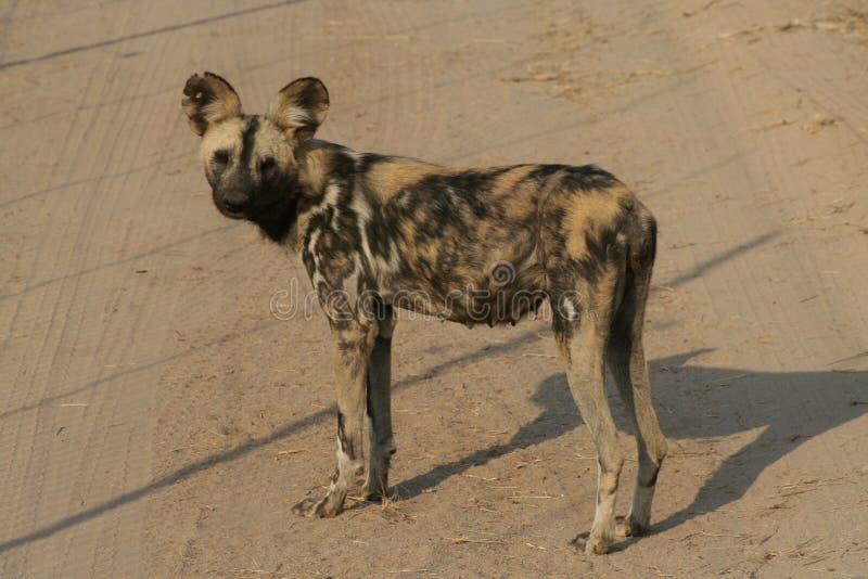 Wild dog royalty free stock image