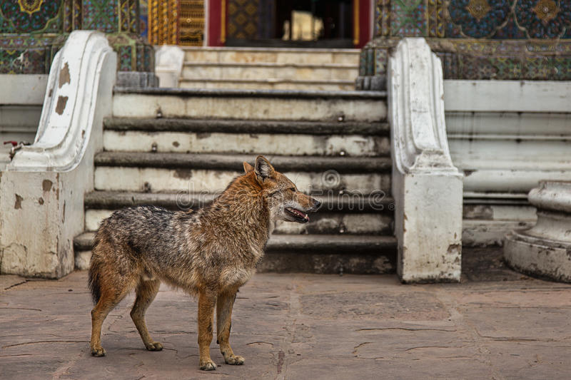A Wild Dog at a Thai Temple royalty free stock image
