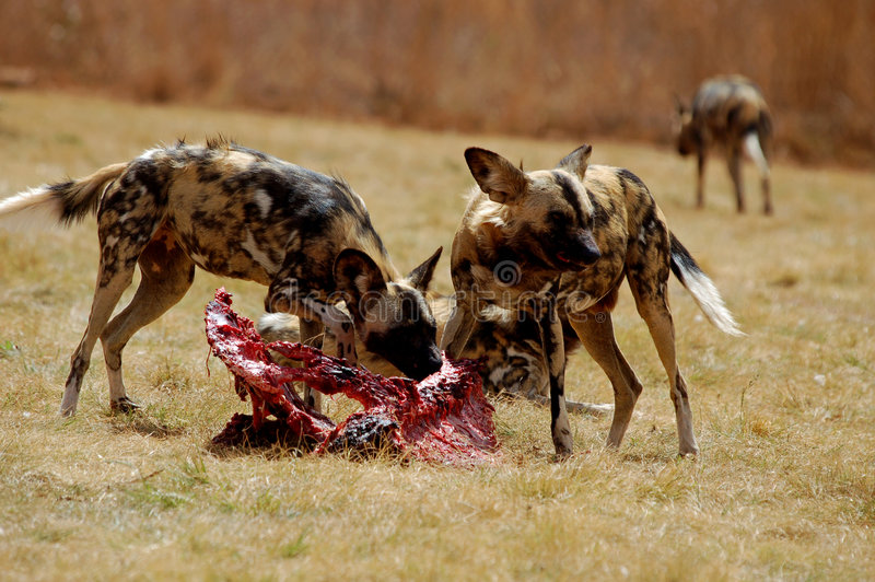 Wild Dogs Feeding royalty free stock photo