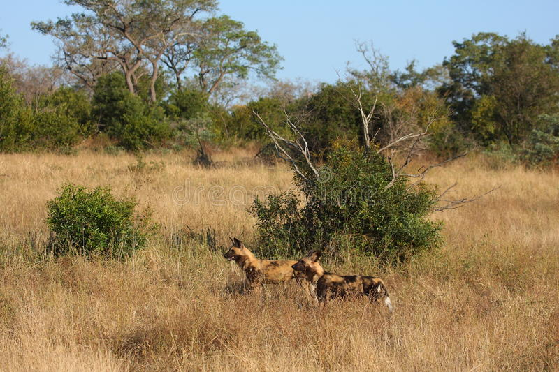 Wild dogs in Soouth Africa stock photos