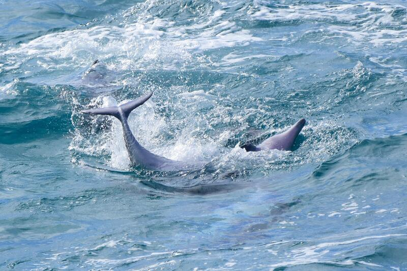 Wild dolphins playing off a tropical island paradise in Queensland, Australia stock photos