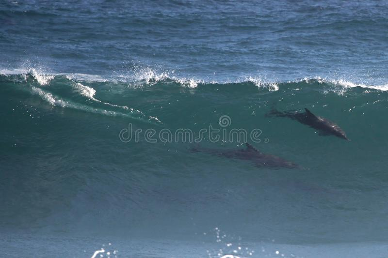Download Wild Dolphins in Wave stock image. Image of speed, beauty - 21439821