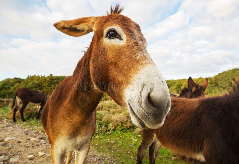 Wild donkey royalty free stock images