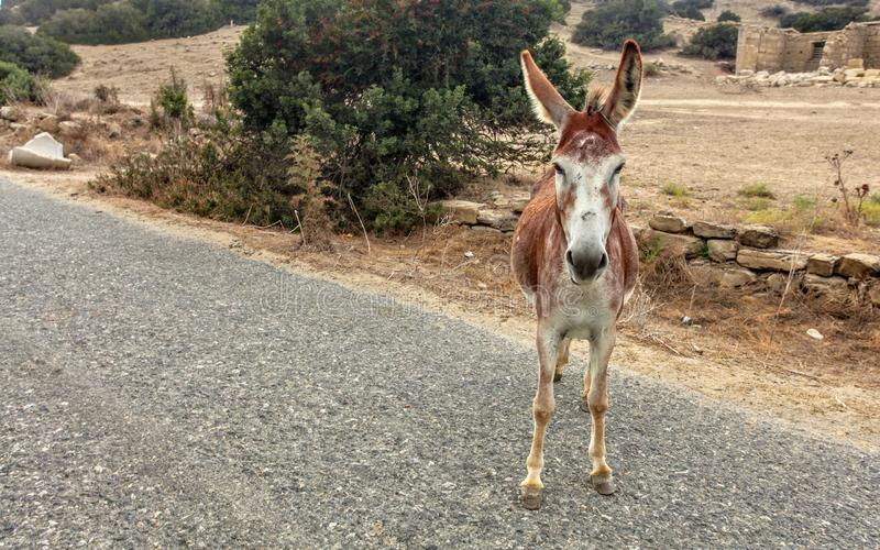 Wild donkey standing on asphalt road. Donkeys living free are common in Karpass region of Northern Cyprus.  stock photography