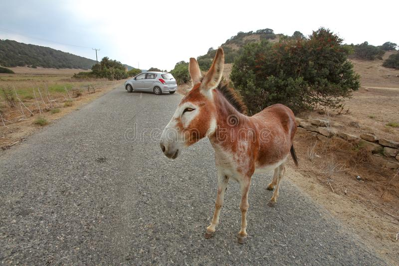 Wild donkey standing on main road, car in distance. These animals roam freely in Karpass region of Northern Cyprus.  stock photography