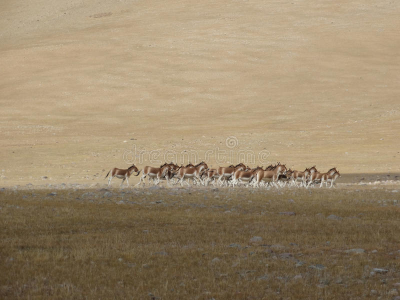 The wild donkeys chased by a tour pal in Tibet royalty free stock images