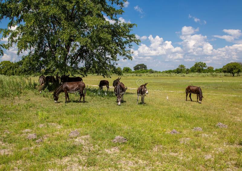 Wild donkeys at the Okavango Delta in Botswana. During summer period stock photos