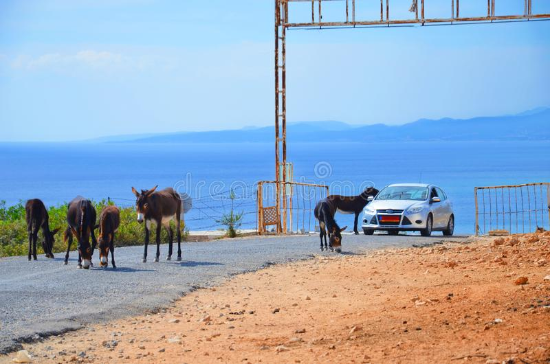 Wild donkeys on the road around the car that is passing by. One of the donkeys has his head in a car. Taken in Karpas Peninsula, royalty free stock photos
