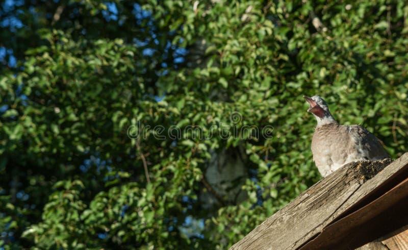 Wild dove cries stock image