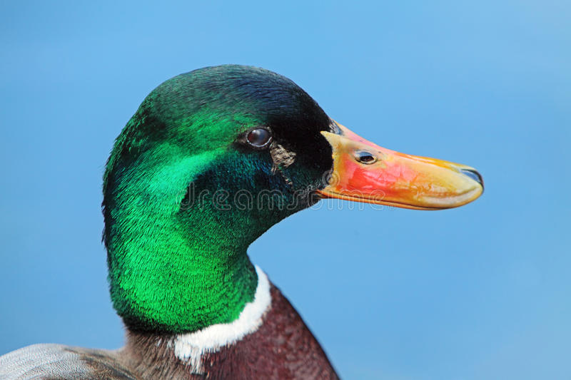 Download Wild drake stock photo. Image of duck, wings, colorful - 20557190