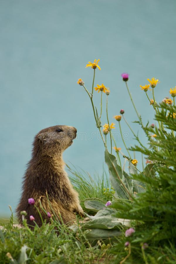 Wild dreamy marmot stock photos