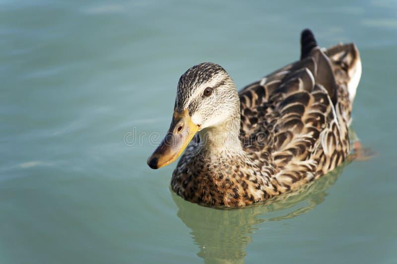 Download Wild duck stock photo. Image of birds, lake, summer, white - 16081688