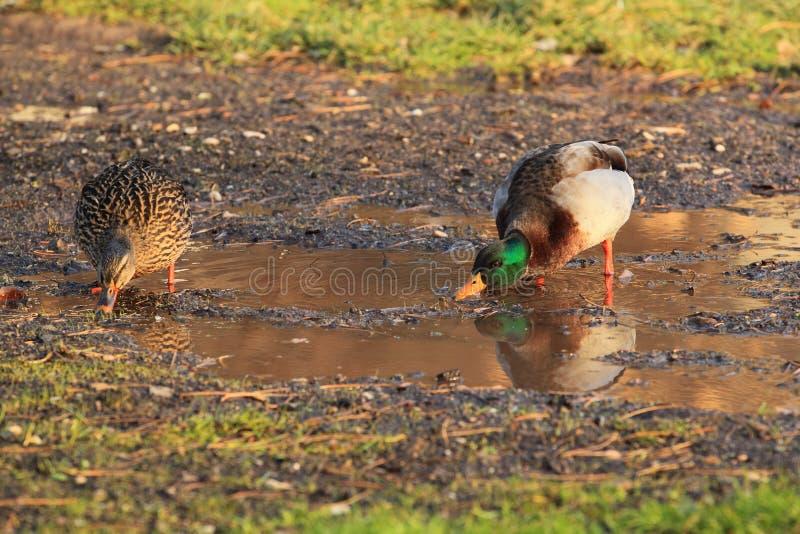Wild Duck Stock Images
