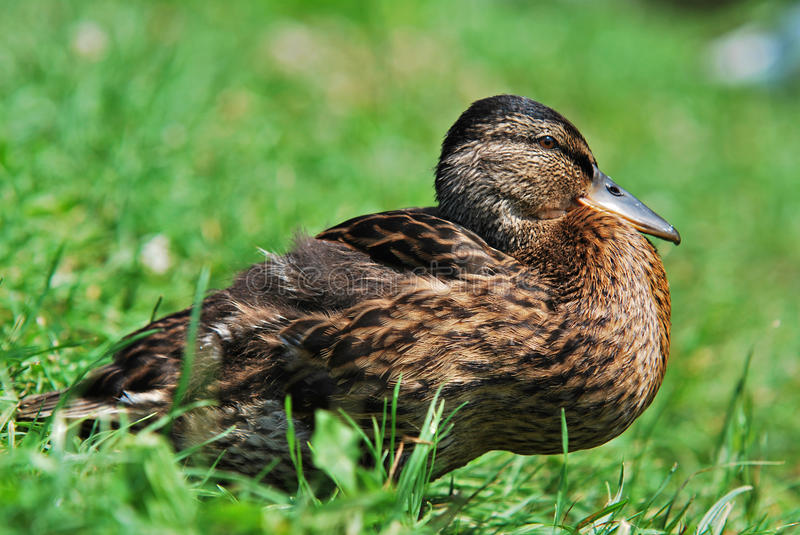 Download Wild duck stock image. Image of pond, bird, rest, winged - 25593743