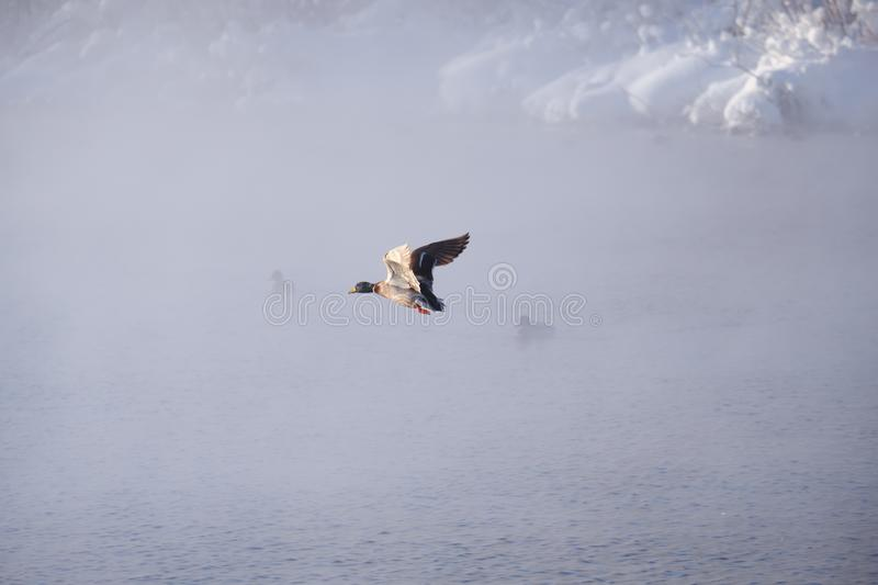 Wild duck Anas platyrhynchos fly in mist on altai lake stock images