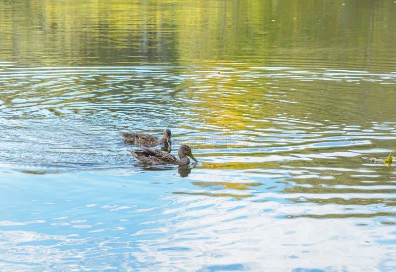 Wild Duck. Autumn, Duck, Ducks, Early autumn, Forest, Forest river, Forest swamp, Grove, River, Swamp, Wild Duck, Wild Ducks stock photo