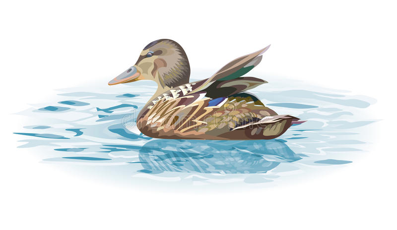 Wild duck bird on water. Illustration isolated on white background royalty free illustration