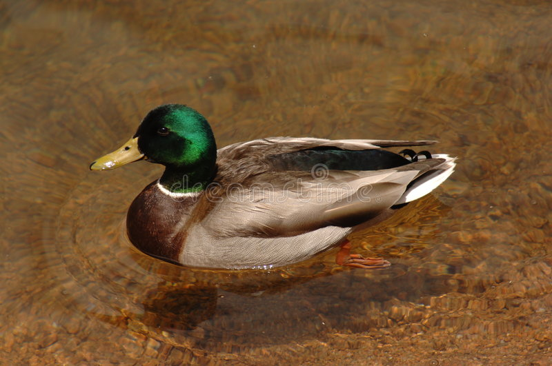 Wild duck in clear water royalty free stock photography