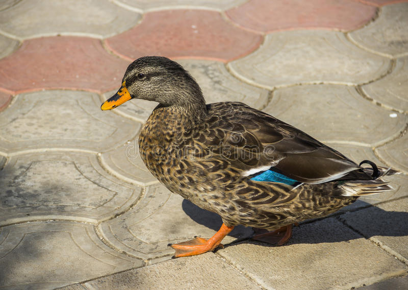 Wild duck. Close-up female mallard Anas platyrhynchos stock images